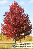 Red Maple Tree With Wooden Fence