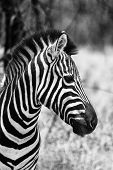 Zebra Head Side Profile Picture Black And White