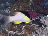 picture of hogfish  - Splitlevel hogfish in Bohol sea Phlippines Islands - JPG