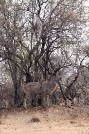 picture of bosveld  - Kudu Bull in Camouflage Cloak Mode Against Tree Branches - JPG