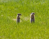 Pair Of Standing Ground Squirrels