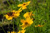 Small Tortoiseshell Butterfly On Coreopsis Flower