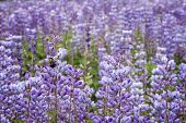 Blue Lupine Wildflowers