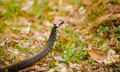 picture of snake-head  - Grass Snake  - JPG