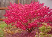 Red Burning Bush