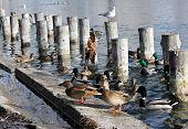 Wild ducks and seagulls