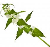 Nettle flowering  (Lamium album)  isolated on white background