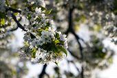 Springtime Cherry Blossom