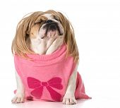 dog with attitude - female english bulldog wearing wig with funny expression