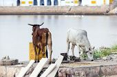 cows at the lake in Pushkar