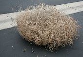 A Genuine Tumble weed aka