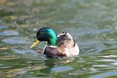 Male Mallard On Lake Surface