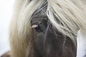 Iceland. Vatnsnes Peninsula. Icelandic Horse Close Up.