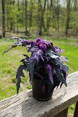 Purple Passion Plant In The Summer Sunshine