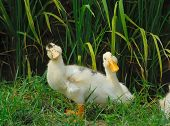 cute ducks standing on rice field