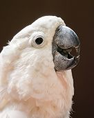 Portrait Of Cockatoo