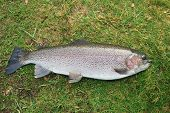 Large Trout On Ground