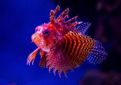 Exotic brightly decorated with red-orange fish