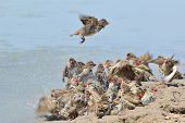 Red Billed Quelea - African Wild Bird Background - Summer Fun and Joy