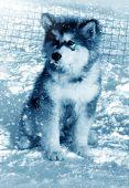 Dog Puppy Alaskan Malamute On Snow