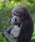 Side face portrait of a young gorilla male on green background.