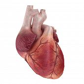 3d rendered medical illustration of a human heart