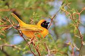Southern Black Masked Weaver - African Wild Bird Background - Posing Gold