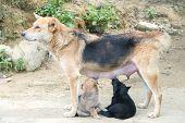 Dog Mother Feeding The Cute Puppy
