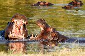 Two Fighting Young Male Hippopotamus Hippopotamus