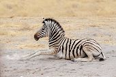 Lying Small Zebra In African Bush