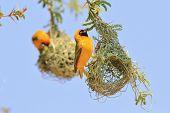 Yellow Weaver - African Wild Bird Background - Proud Home Owner