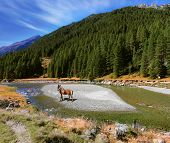 Sunny day in the Austrian Alps. Beautiful farm horse grazing beside a creek