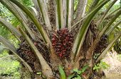 Bunches of palm oil fruits