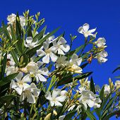 White Oleander Bush Full Bloom Against Royal Blue Sky
