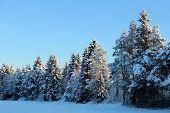 Tree Row In Winter