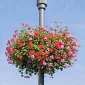 Red And Pink Geranium Basket On Lamppost