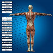 Concept conceptual 3D human anatomy and muscle text on blue gradient background, metaphor to body, tendon, spine, fit, builder, strong, biological, skinless, shape, muscular, posture, health medical