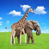 giraffe with elephant
