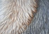 Fur of polar fox of different colors
