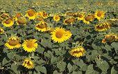 Field Of Sunflowers  .