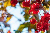 Guelder-rose clusters