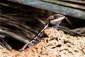 Lizard from Thailand