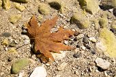 Red Dry Maple Leaf In The River Water