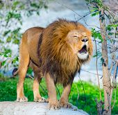 Mighty lion roars in the forest