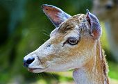 the deer head