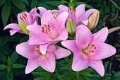stock photo of stargazer-lilies  - branch of pink lilies in a garden - JPG