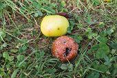 Rotten Apples Outside