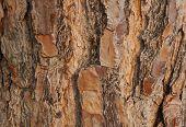Bark of pine tree texture