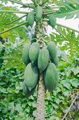 stock photo of papaya  - Papaya on the papaya tree in garden - JPG