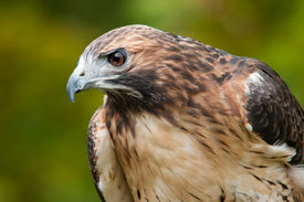 image of hawk  - A portrait of an adult Red-tailed Hawk. ** Note: Visible grain at 100%, best at smaller sizes - JPG